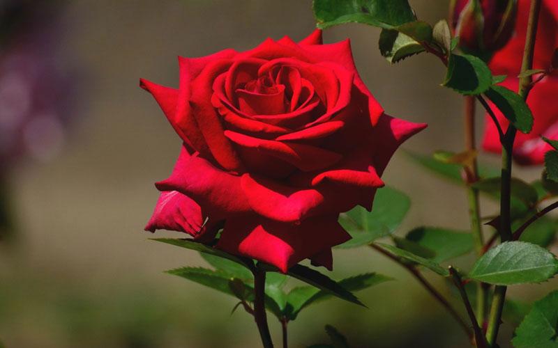 Hình ảnh hoa hồng khoe sắc thắm trong vườn