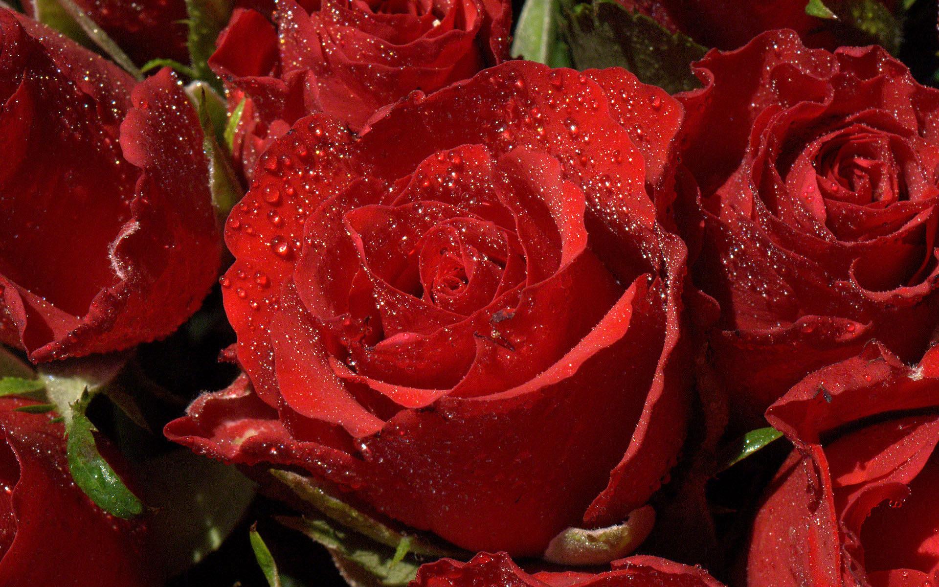Hình ảnh hoa hồng màu đỏ đẹp