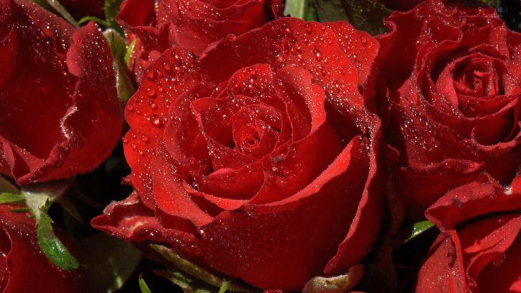 Hình ảnh hồng đỏ khoe sắc