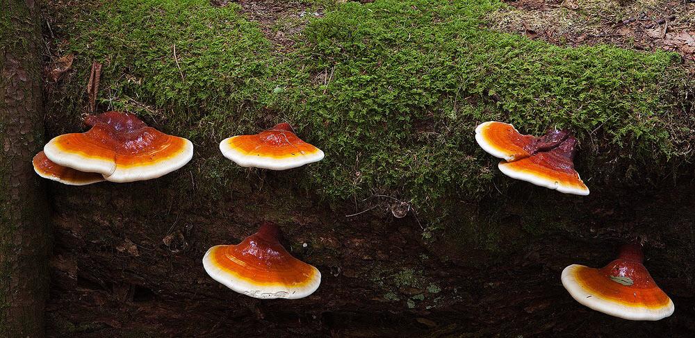 Hình ảnh nấm linh chi rừng