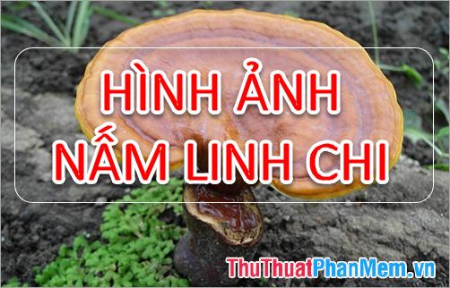 Hình ảnh nấm Linh Chi - Tổng hợp hình ảnh nấm Linh Chi đẹp nhất
