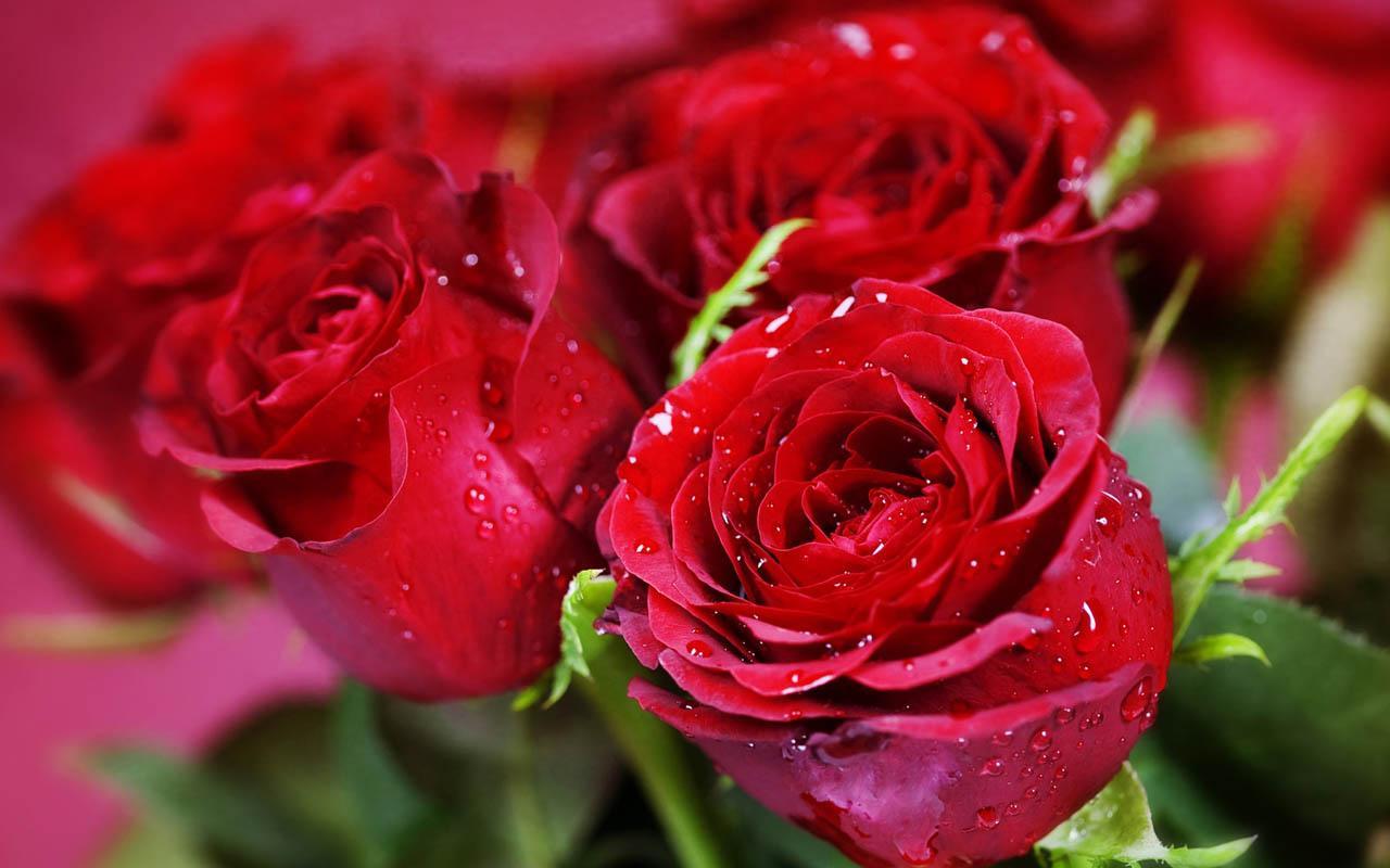 Hình ảnh những bông hoa hồng màu đỏ
