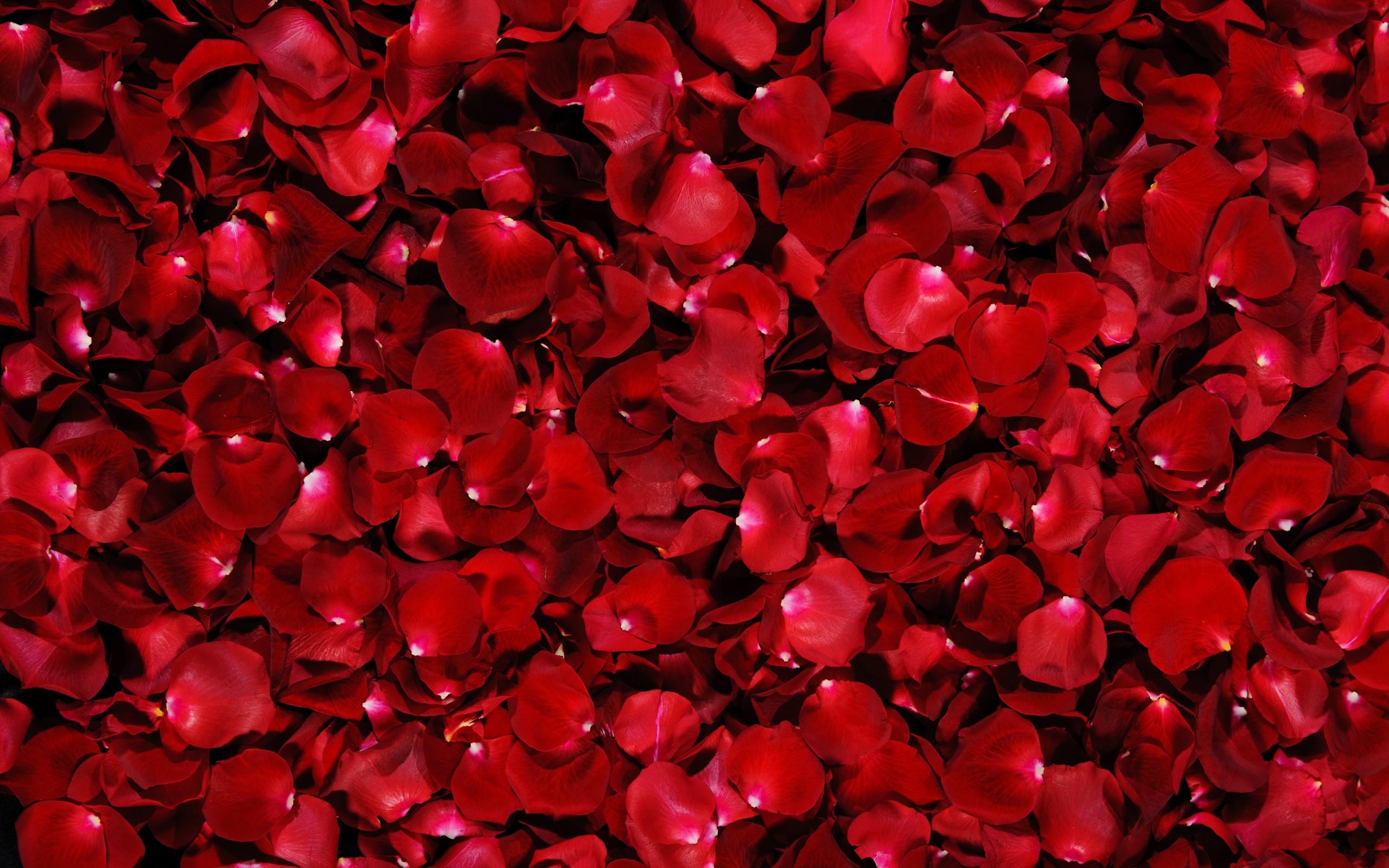 Hình ảnh những cánh hoa hồng đẹp