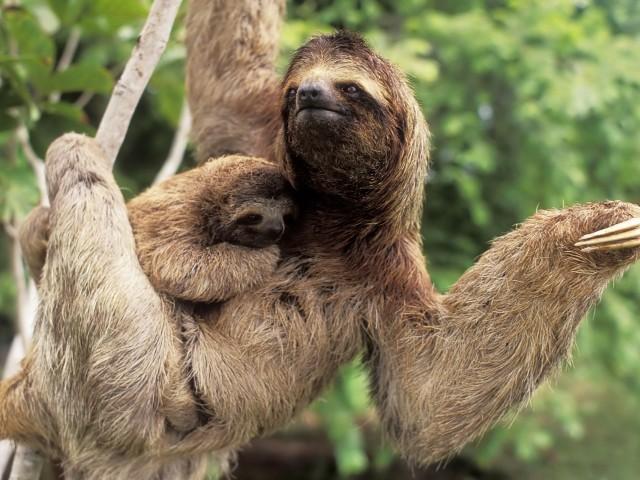 Hình ảnh những con lười đang vui đùa đẹp