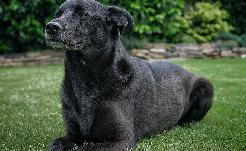 Hình chó đen đẹp