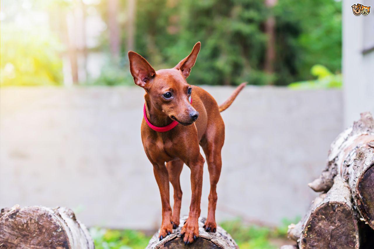 Hình chó fox đẹp nhất