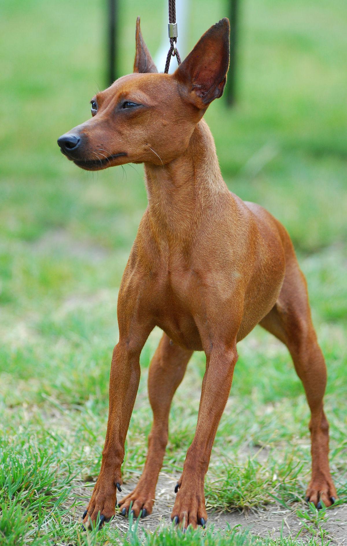 Hình chó fox đẹp