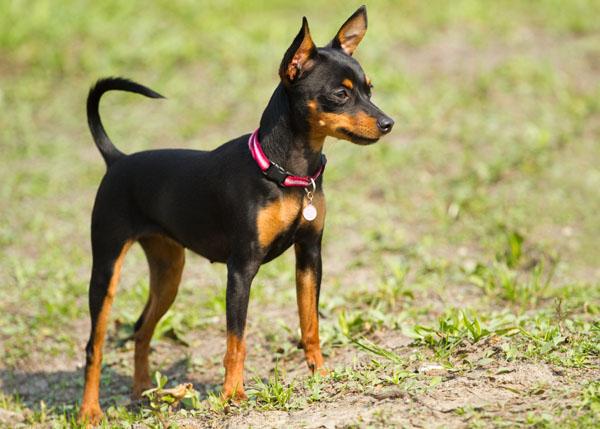 Hình chó Phốc đẹp nhất