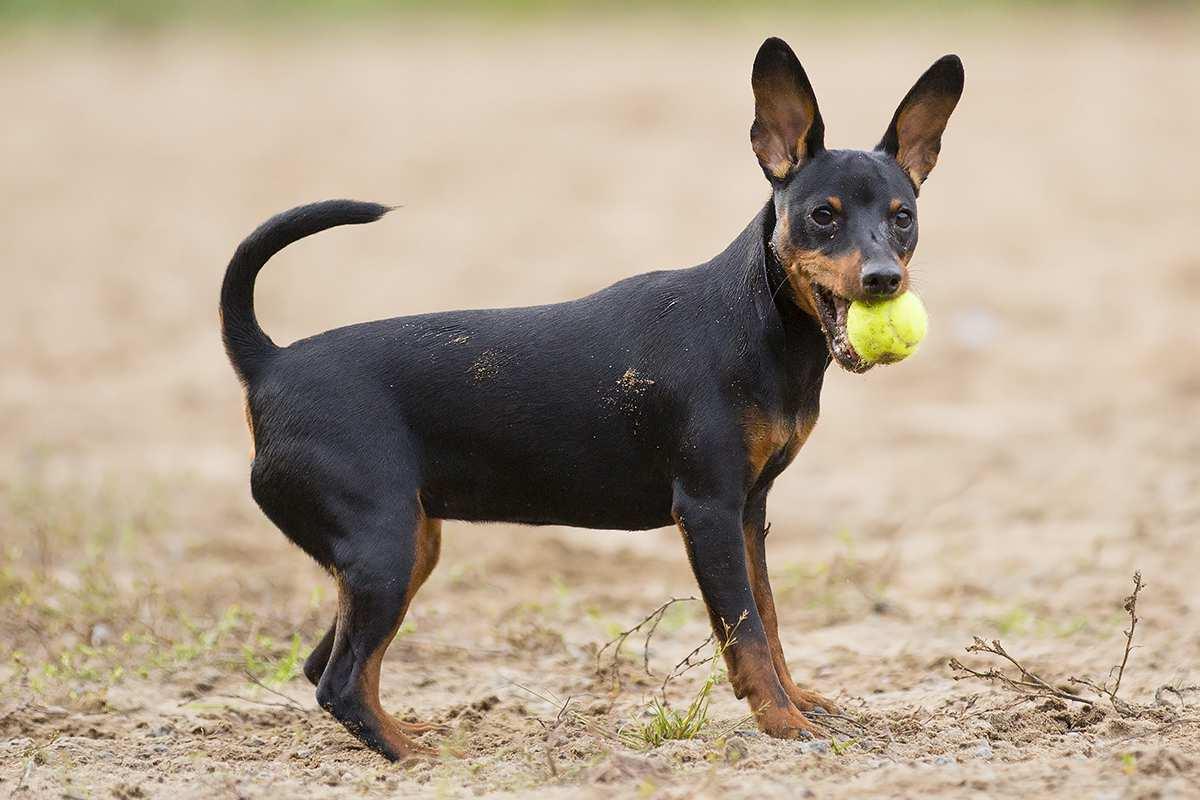 Hình chú chó Phốc (2)