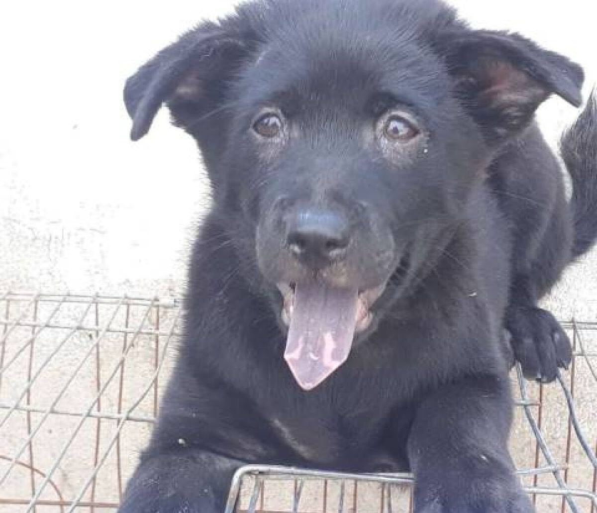 Hình con chó đen đẹp nhất