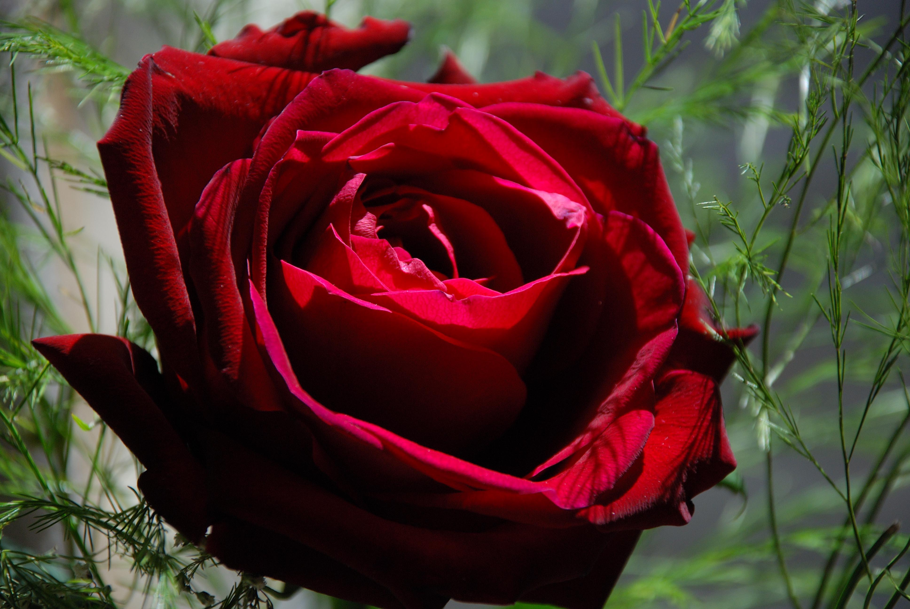 Hình hoa hồng đỏ