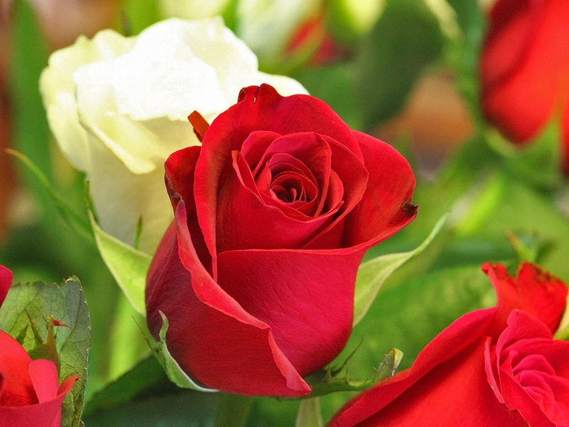 Hình hoa hồng nhung đẹp