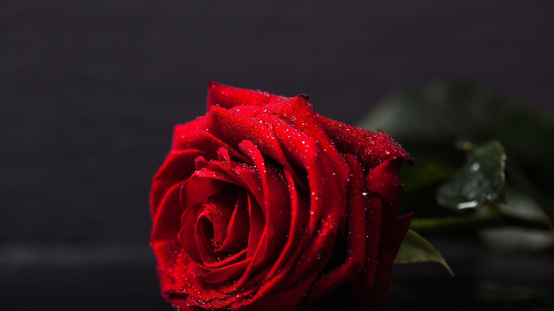 Hình hoa hồng