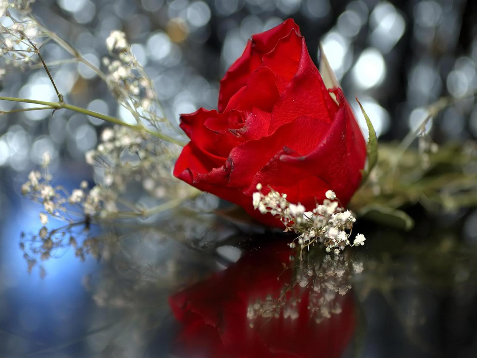 Hình nền hoa hồng đỏ cực đẹp