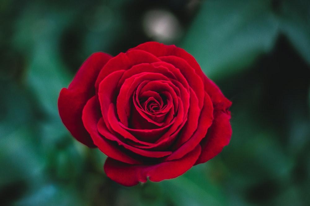 Hoa hồng đỏ đẹp nhất thế giới