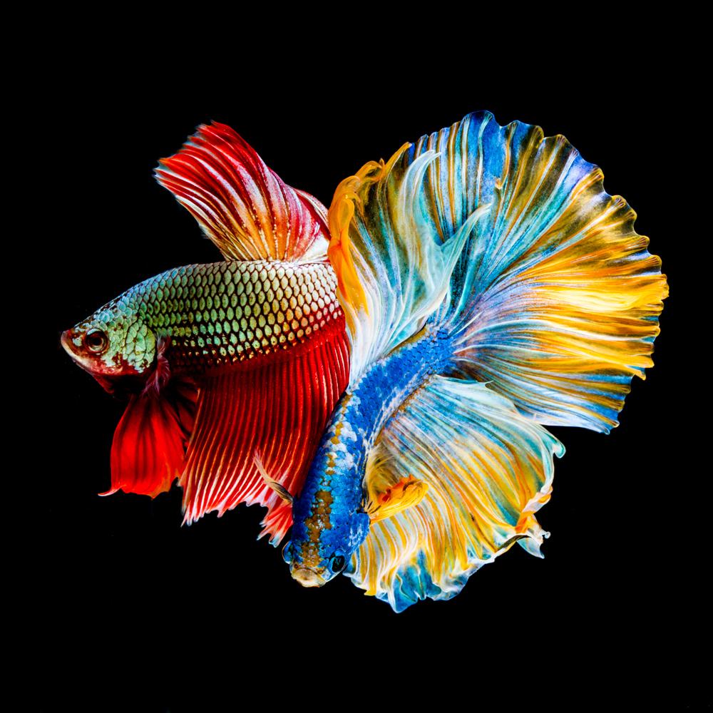 Tổng hợp hình ảnh cá Chọi đẹp nhất