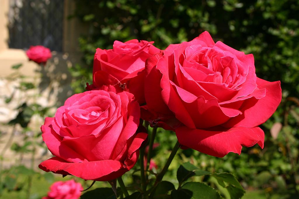 Tổng hợp hình ảnh hoa hồng đỏ đẹp nhất