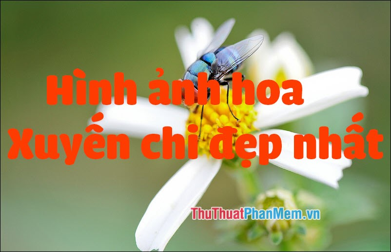 Hình ảnh hoa Xuyến Chi đẹp nhất