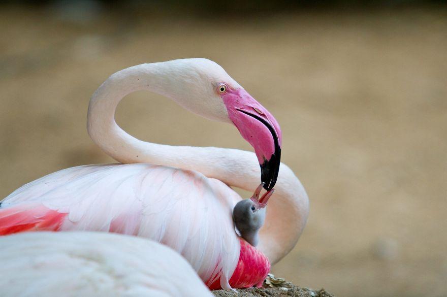 Flamigo Hình ảnh đẹp nhất của chim hồng hạc