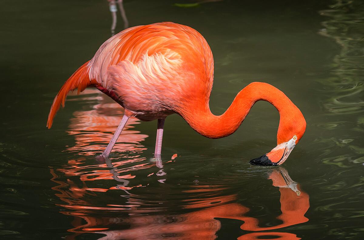 Giá bán chim hồng hạc hiện nay là bao nhiêu