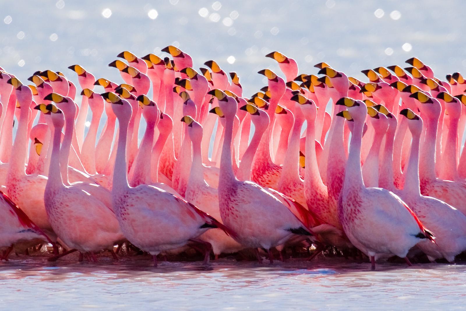 Hình ảnh chim hồng hạc bay về tổ