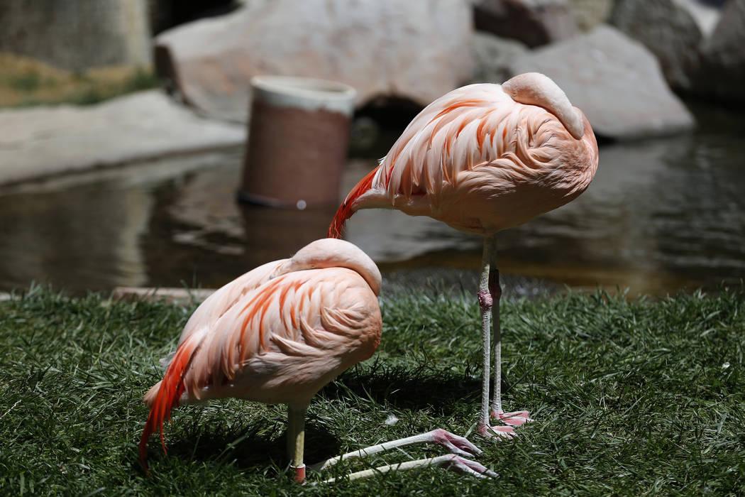 Hình ảnh chim hồng hạc đẹp nhất và ý nghĩa của loài chim hồng hạc