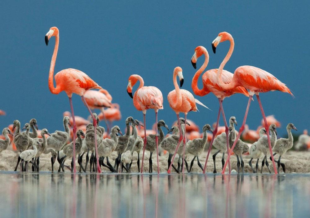 Hình ảnh về chim hồng hạc đẹp nhất
