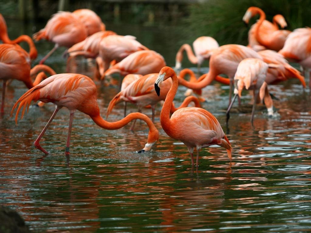 Tập tính của chim hồng hạc