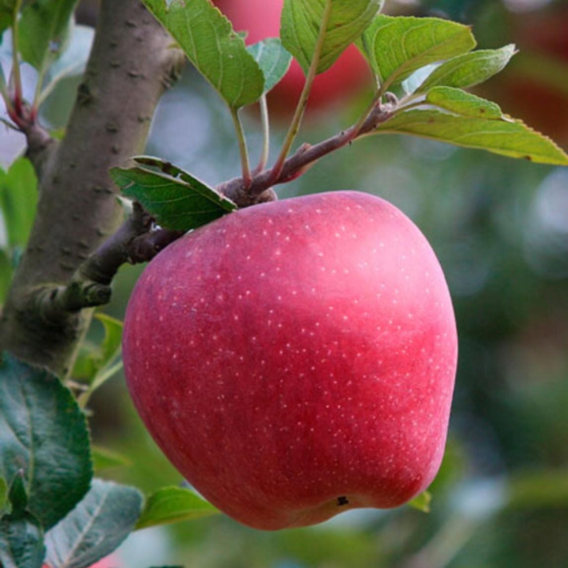 Ảnh cực đẹp của quả táo