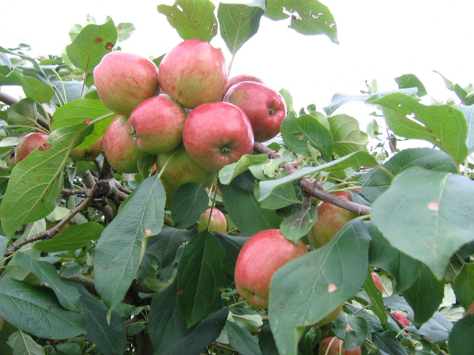 Ảnh đẹp của quả táo
