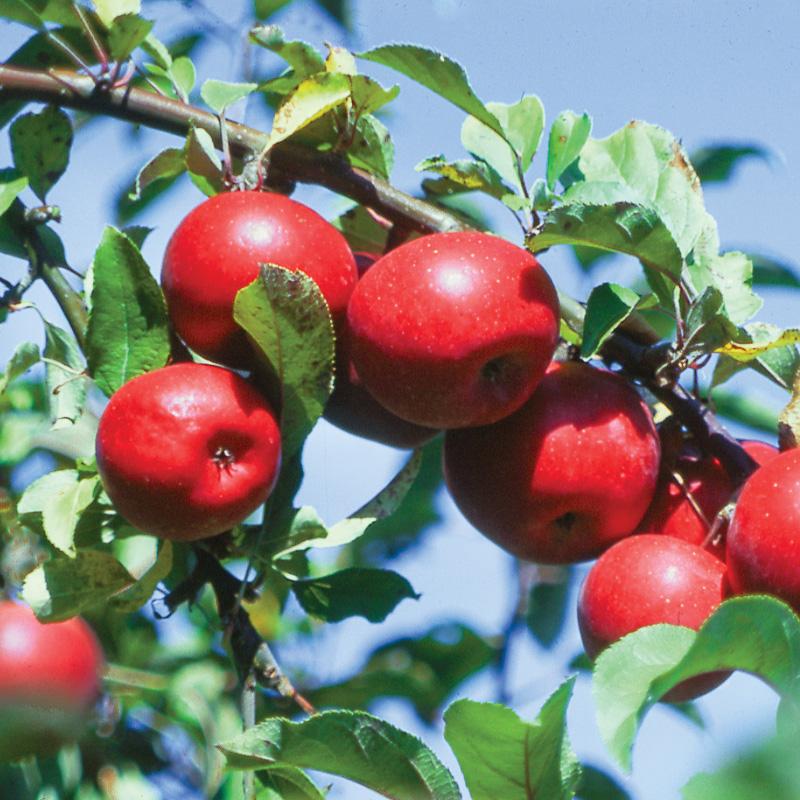 Chùm táo đỏ đẹp