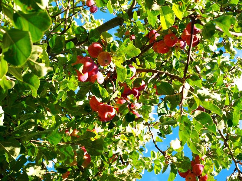 Hình ảnh cành táo đẹp nhất