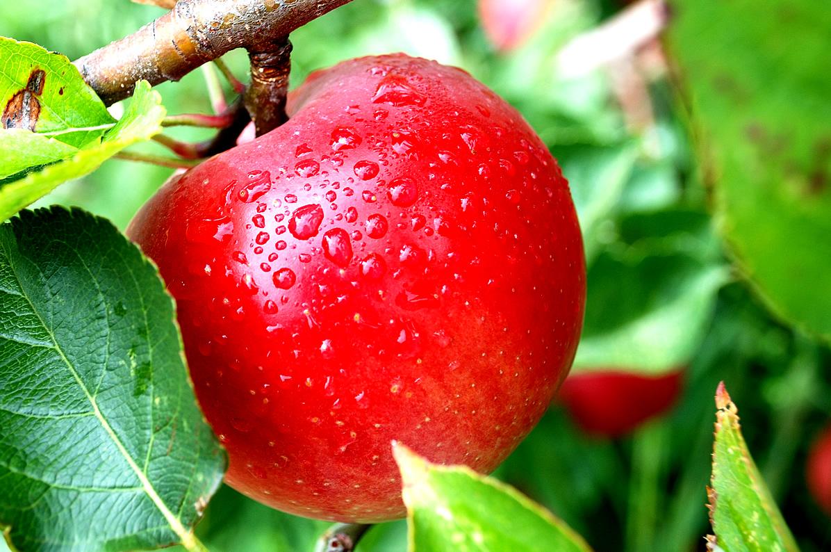 Hình ảnh đẹp nhất của quả táo