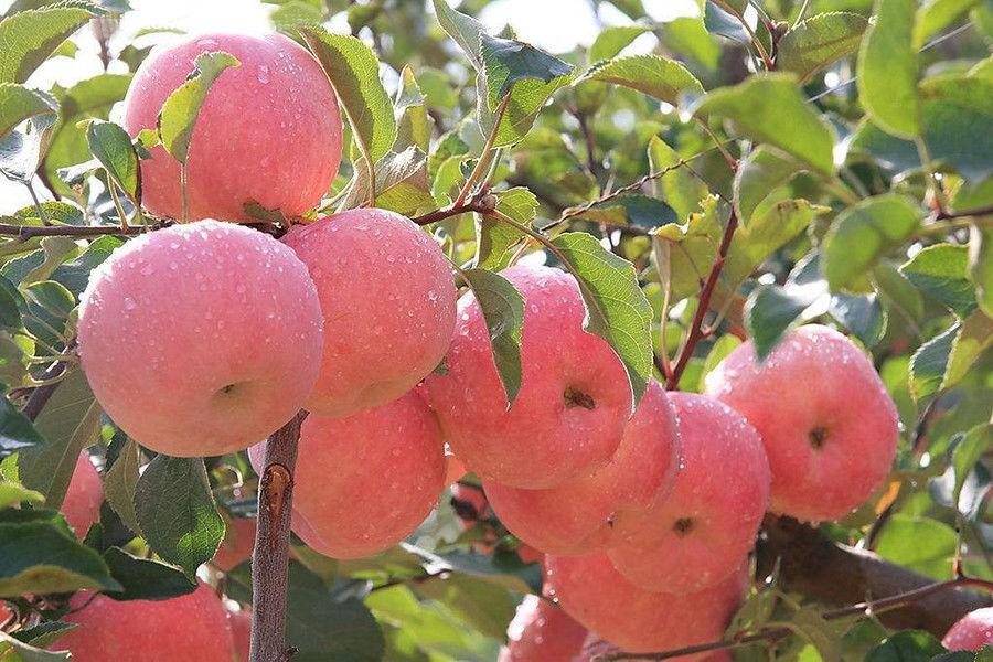 Hình ảnh những quả táo đẹp nhất