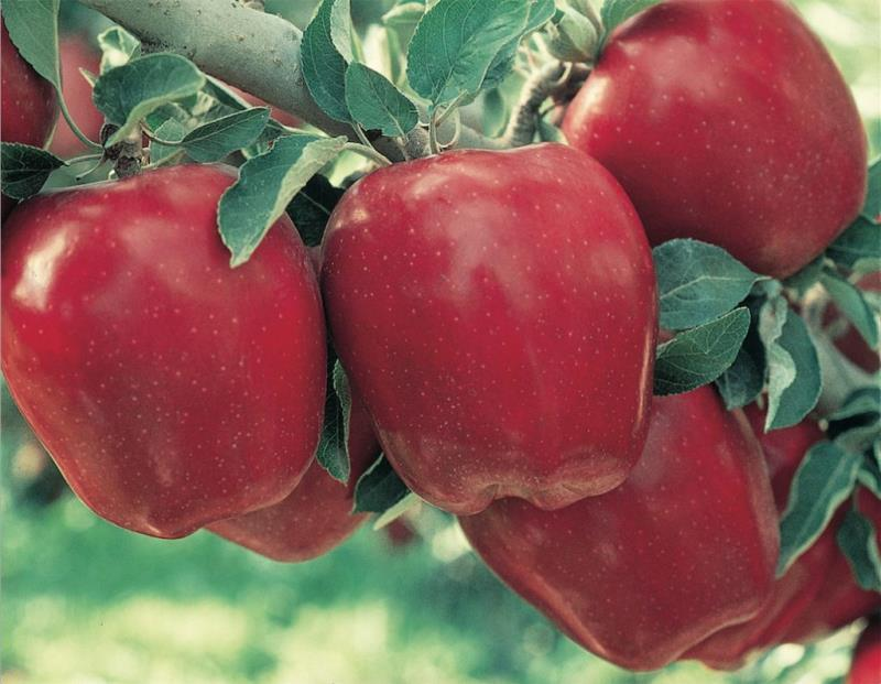 Hình ảnh quả táo đỏ trên cây đẹp