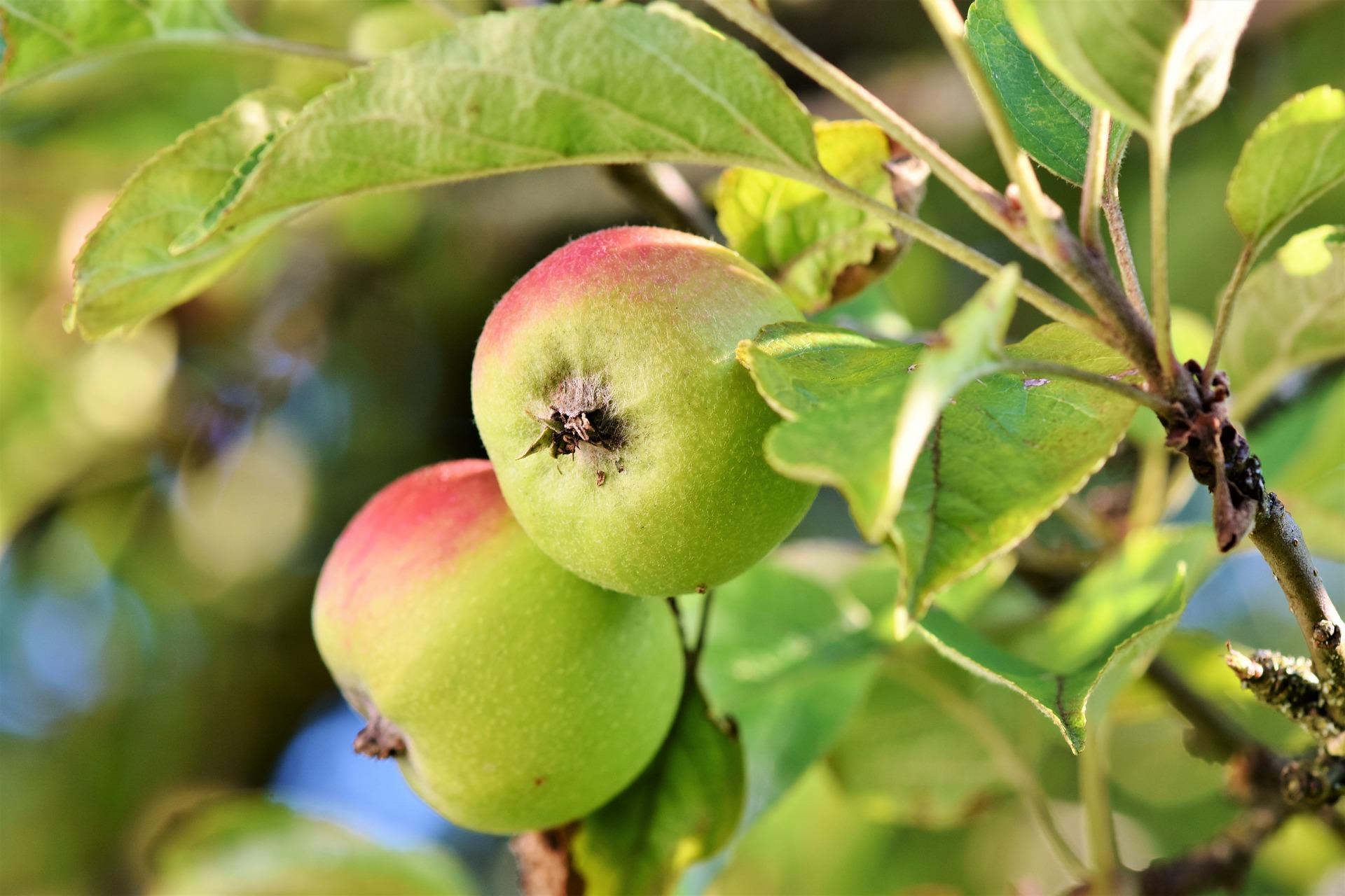 Hình ảnh quả táo màu xanh đẹp