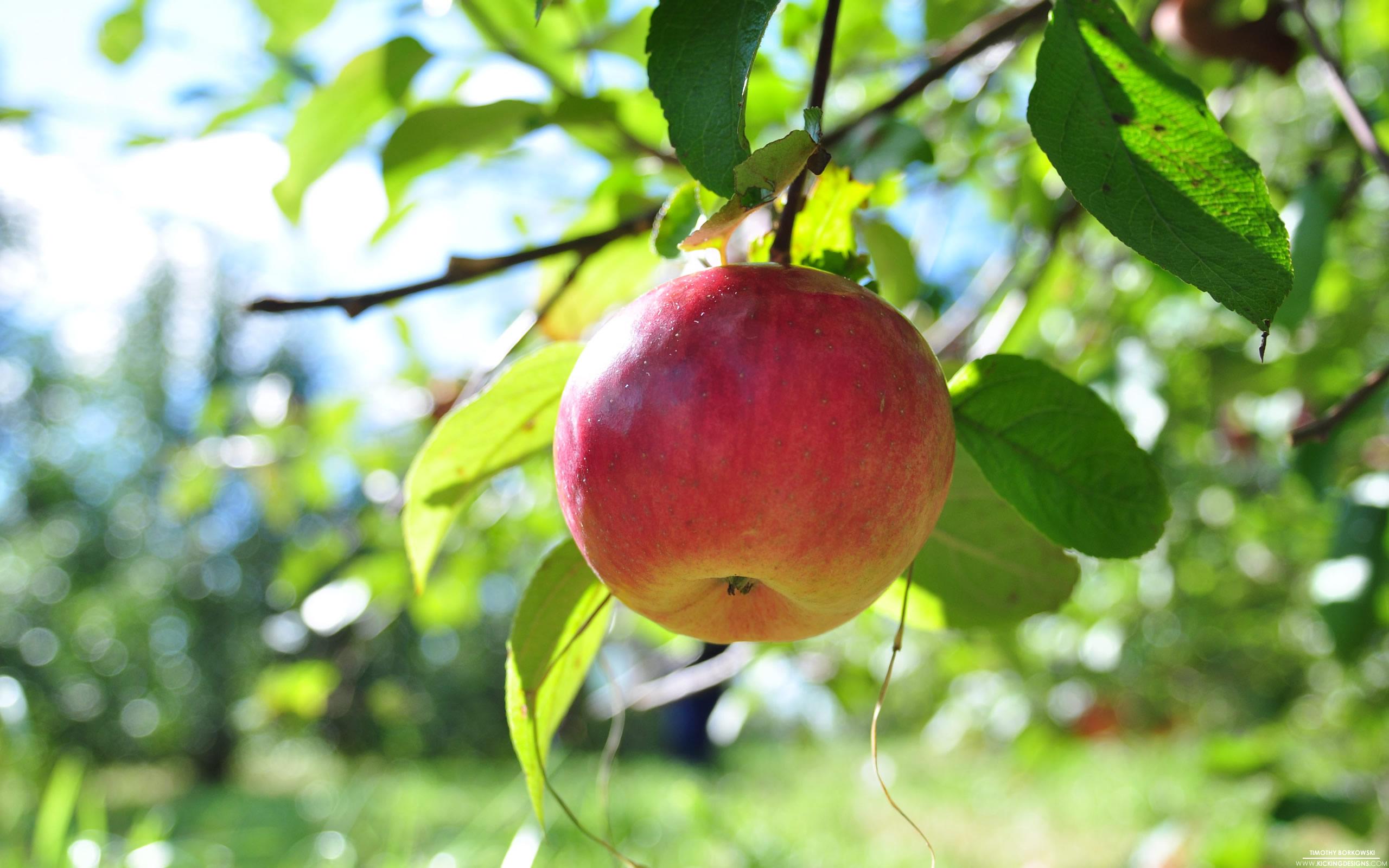 Hình ảnh quả táo trên cành cây cực đẹp
