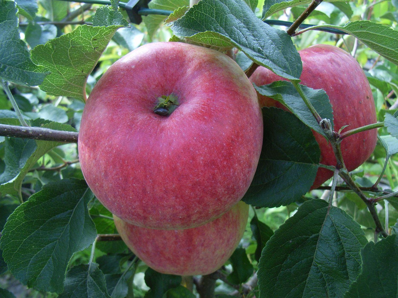 Hình quả táo xanh đẹp nhất