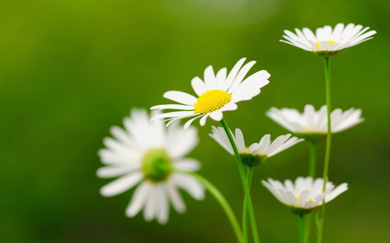 Ảnh cánh đồng hoa xuyến chi đẹp