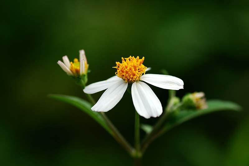 Ảnh hoa xuyến chi ấn tượng và đẹp nhất