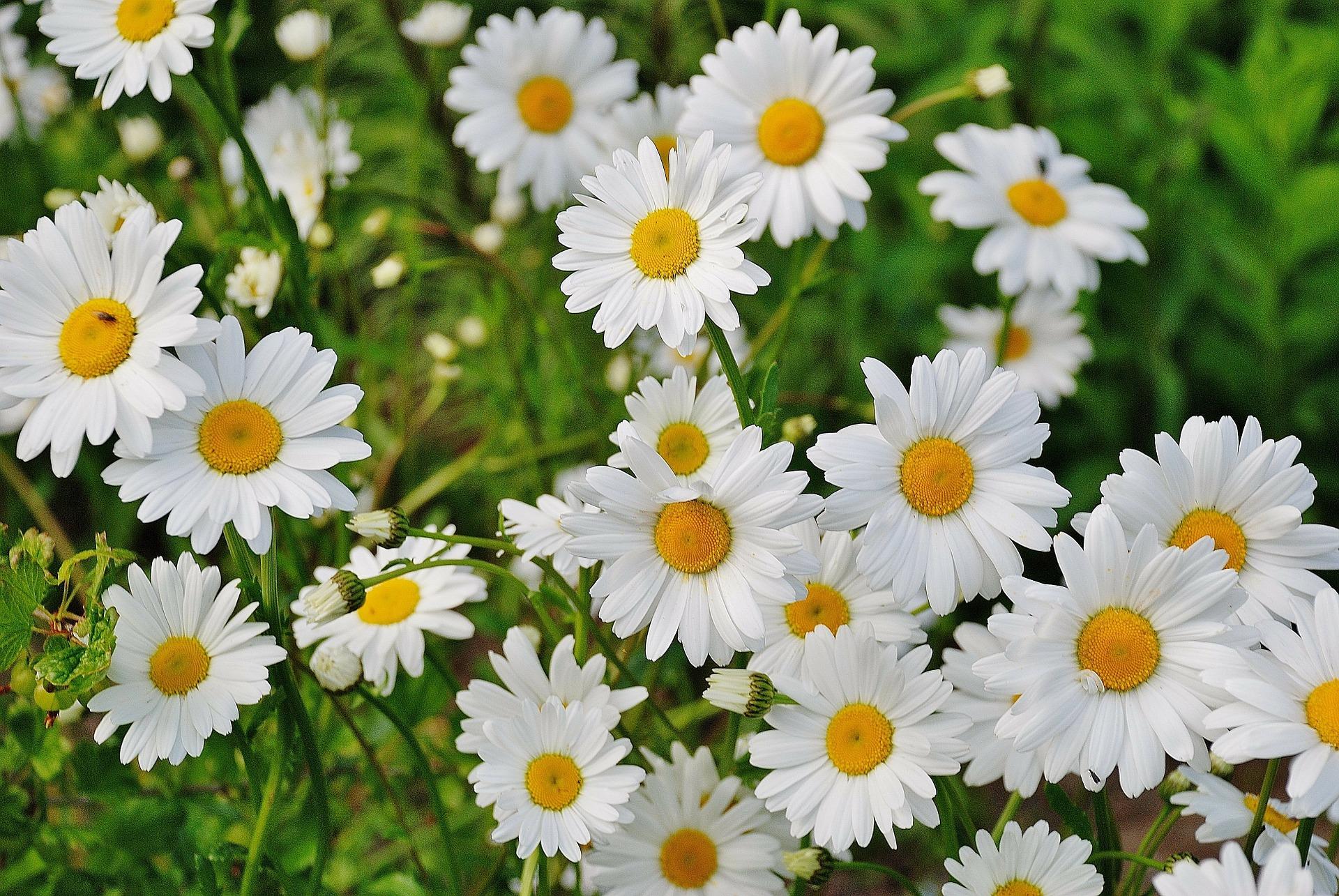 Hình ảnh cánh đồng hoa xuyến chi đẹp và ngọt ngào nhất