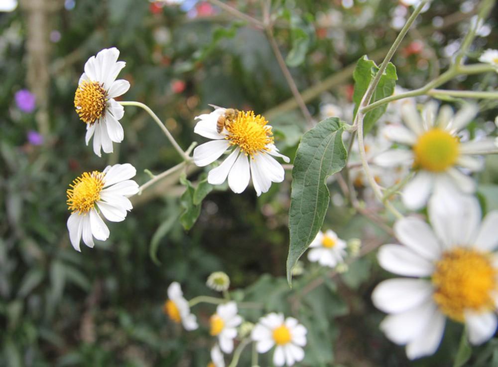 Hình ảnh cây hoa xuyến chi
