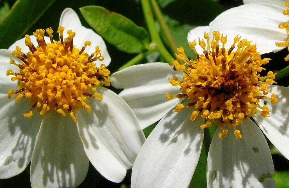 Hình ảnh đẹp nhất về cây hoa xuyến chi