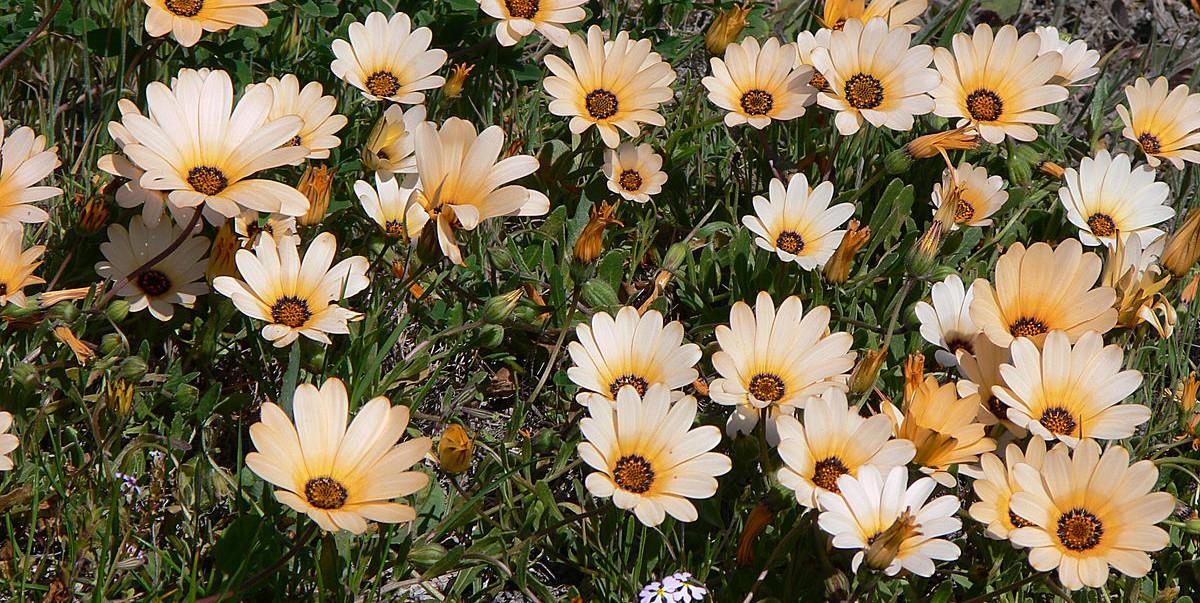 Hình ảnh đẹp nhất về hoa xuyến chi
