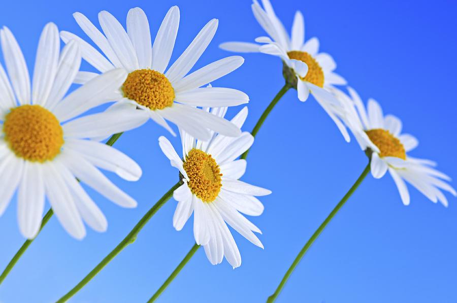 Hình ảnh hình nền đẹp nhất về hoa xuyến chi