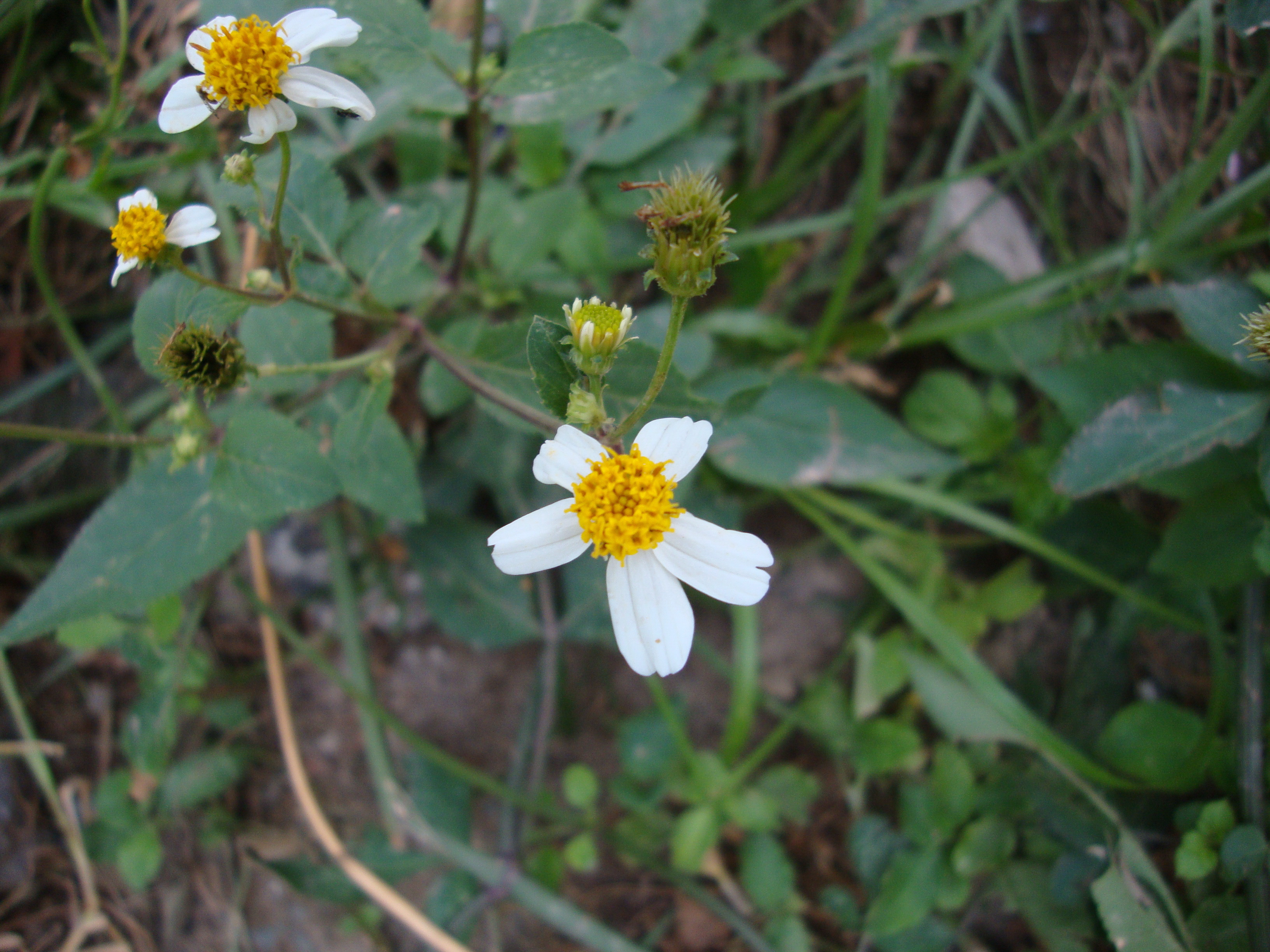 Hình ảnh hoa xuyến chi đẹp ở hà nội
