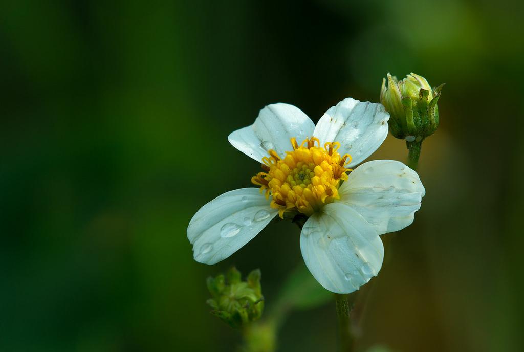 Hình ảnh hoa xuyến chi đẹp