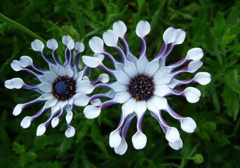 Hình ảnh hoa xuyến chi độc lạ đẹp nhất