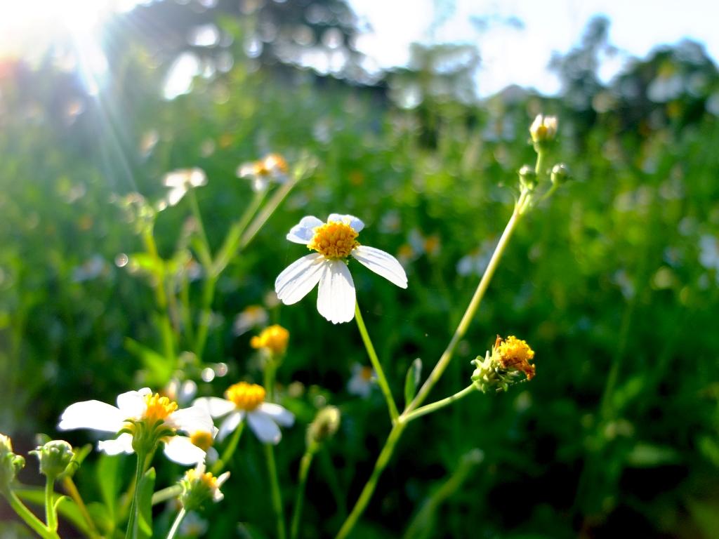 Hình ảnh hoa xuyến chi trắng đẹp nhất