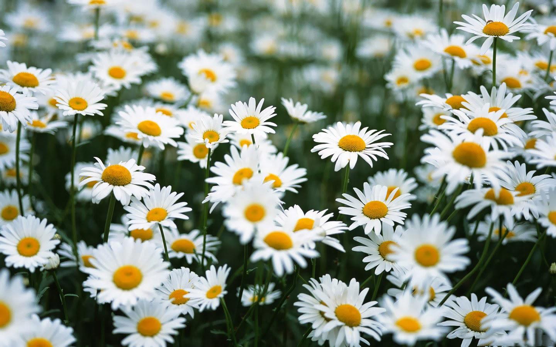 Hình ảnh vườn hoa xuyến chi  đẹp nhất